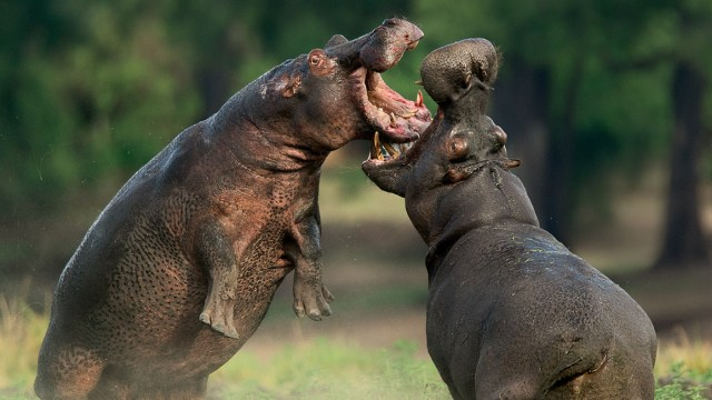 What do Hippos Sound Like?