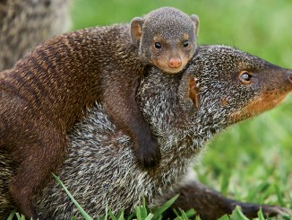 Ranger Rick Mongooses October 2015