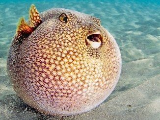 Ranger Rick Pufferfish September 2016
