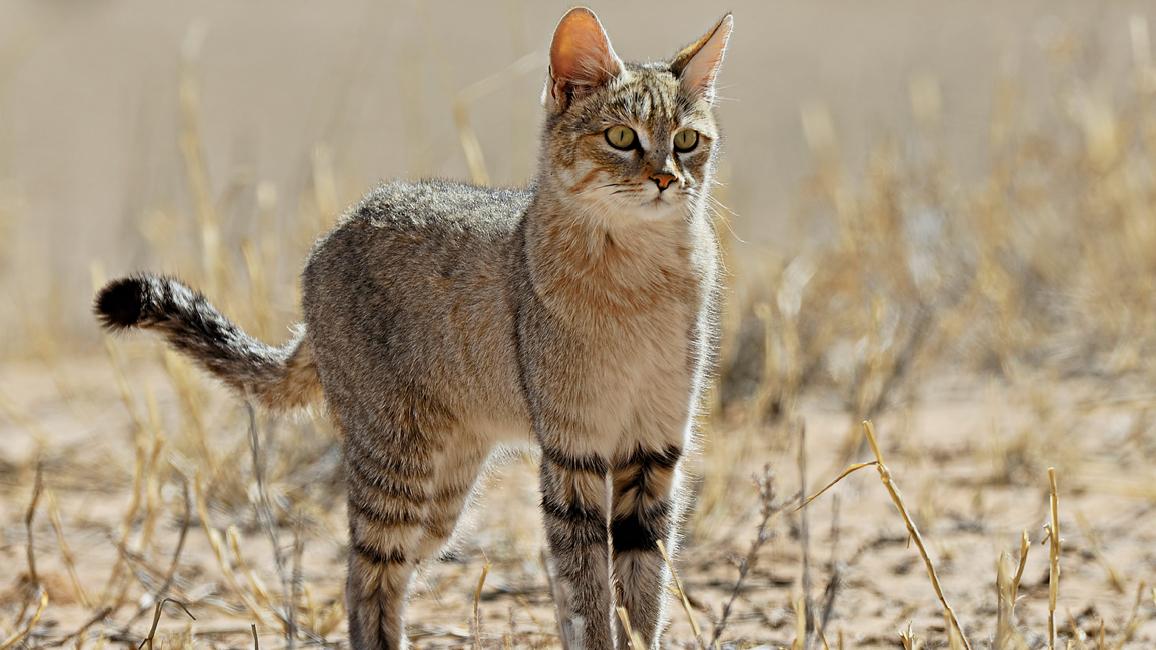 RR-Wild-Cat-Feb-2016.jpg?fit=1156,650&ssl=1
