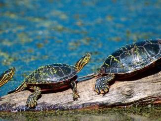 Ranger Rick Jr Turtle Tale August 2014
