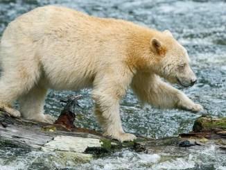 Ranger Rick Spirit Bears September 2014