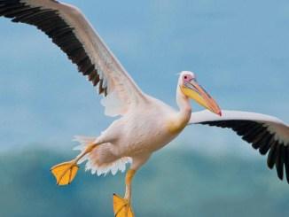 Ranger Rick Jr Pelicans May 2015