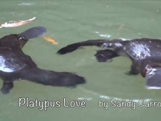 Playful Platypuses