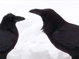 Ravens Socialize in the Snow