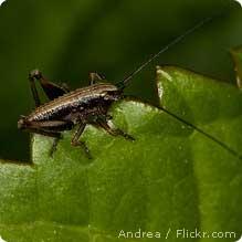 cricket closeup