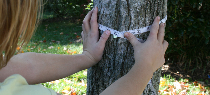 measuring tree