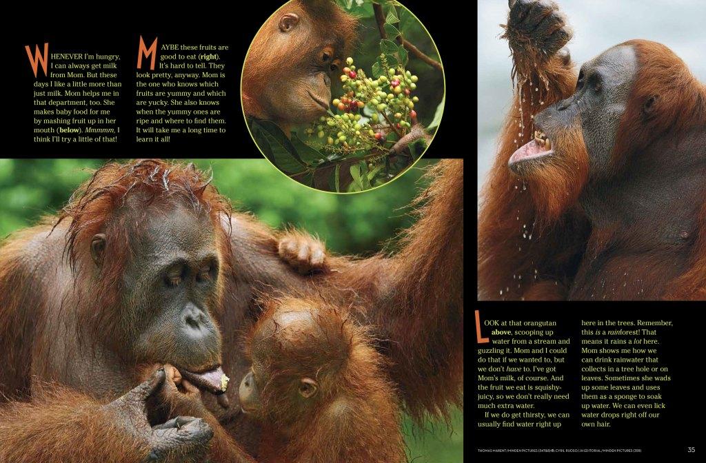Orangutans-spread-2