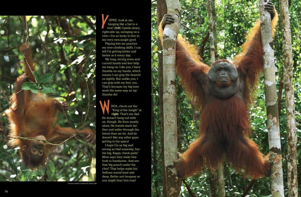 Orangutans-spread-3