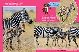 zebras spread 3