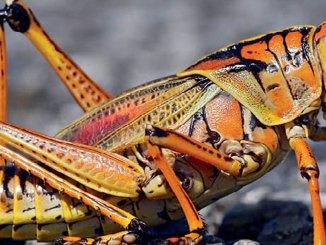 featured grasshopper