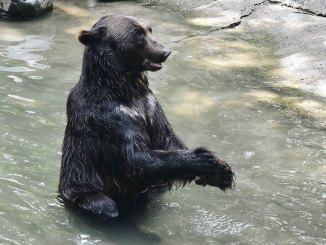 featured black bear