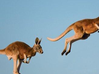 keatured kangaroo