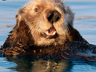 feature otter