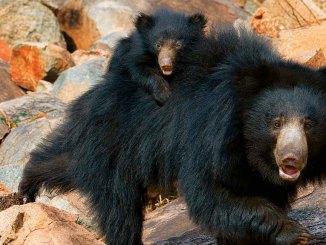slothbears