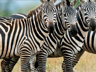 feature zebra