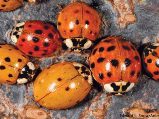 Ladybugs by Edward L Snow Animals Animals 1156x650