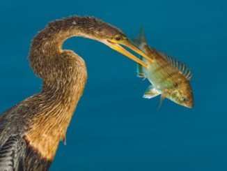 Anhinga by Cliff Beittel