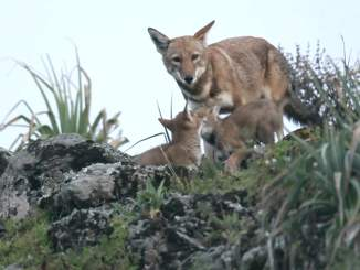 Ethiopian Wolves Video
