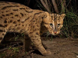 Fishing Cat photo by Morgan Heim 1156x650