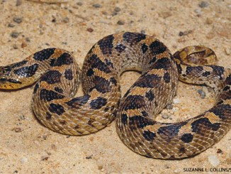 Hog Nose Snake 1156x650 Suzanne L Collins Science Source
