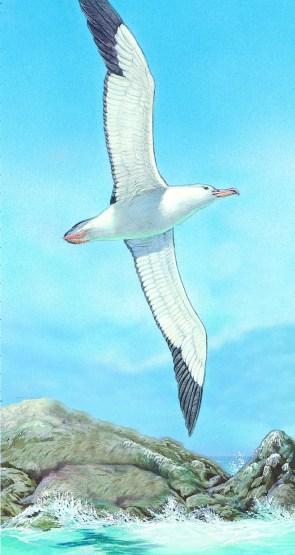 Albatross Illustration