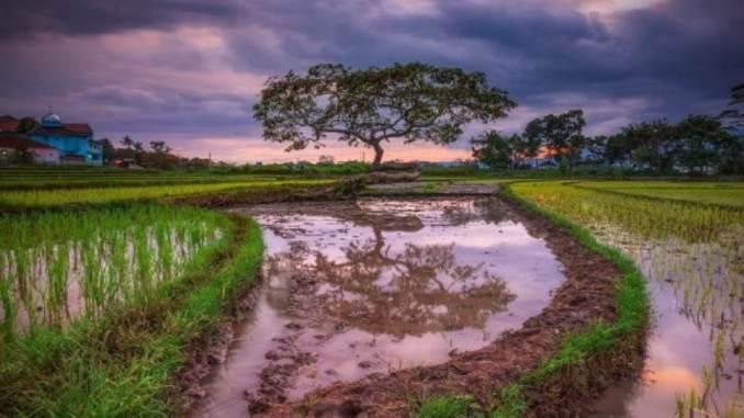 Pohon Pengantin Salatiga