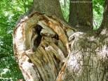 Veteran trees have fantastic habitat value for wildlife