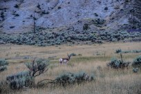 Pronghorn| We saw this guy in the same spot every single day.