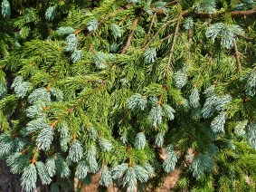 Blue Spruce after the rain