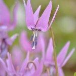 カタクリの花 2