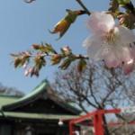 桜めぐり(室蘭八幡宮)