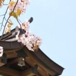桜めぐり 2009(室蘭八幡宮)