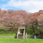 桜めぐり 2011 (茶津山)