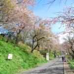 桜めぐり 2011 (母恋富士下の桜並木) 前編