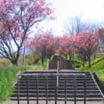 ばんだの桜~♪