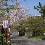 桜めぐり 2014 (母恋富士下の桜並木)