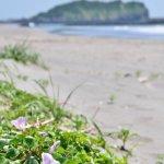 イタンキ浜とハマヒルガオ 2015