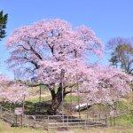 桜めぐり 2016 (幌萌町の大桜)