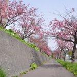 桜めぐり 2016 (室工大の桜並木)