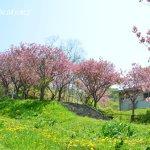桜めぐり 2017 天沢小学校