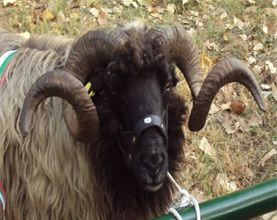 karakachanska ovca