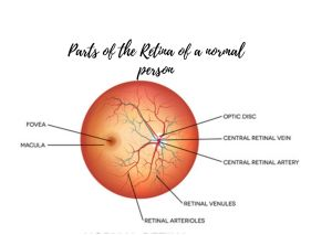 parts of a normal retina of eye