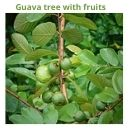 Guava tree with fruits