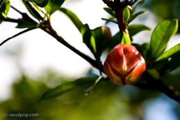 Pomegranate-to-be