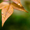 leaf-droplets