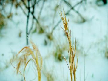 Dry grass, snow, McLean, VA.