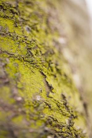 Tiny moss on sour cherry bark