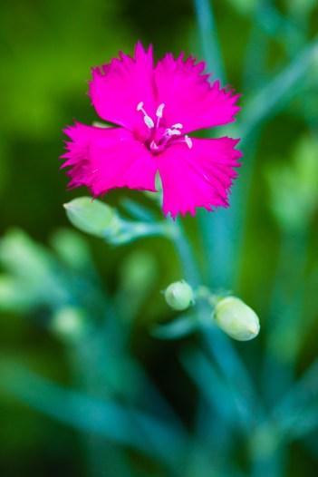 Magenta carnation