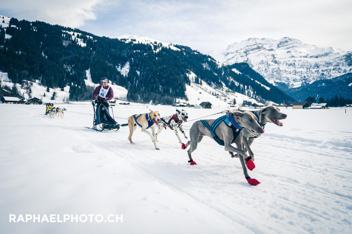 Schlittenhunderennen Lenk: Hundegespann im Schnee in der Panoramalandschaft am sonnigen Sonntag